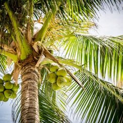 coconut cultivation business